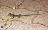 A green lizard, the island of Madeira — Stock Photo