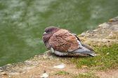 Même les pigeons sont froids ! l'hiver est dur — Photo