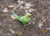 Collared parakeet put on the ground, forest of France — Stock Photo