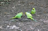 Collared parakeets quarrelling for an end of apple, forest of France — Stock Photo
