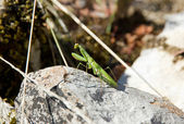 Praying mantis in the stop, between twigs — Stock Photo