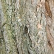 Moth on a trunk of locust tree — Stock Photo