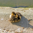 Stock Photo: Brotherhood of ducklings, small mallards (France)