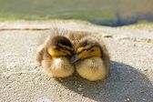 Ducklings, mallard, mutual comfort (France) — 图库照片