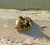 Brotherhood of ducklings, small mallards (France) — Stock Photo