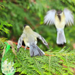 Tit defending its food, the leak of the intruder (France) — Stok fotoğraf