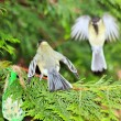 Tit defending its food, the leak of the intruder (France) — Foto de Stock