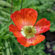 Red heart of poppy — Stock Photo