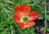 Red heart of poppy — Stock Photo