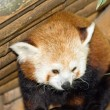 Panda, panda red-haired,  animal in captivity in its shelter — Stock Photo