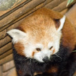 Panda, panda red-haired, animal in captivity in its shelter — Stock Photo #29110339