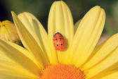 Nymph of ladybird on yellow flower (France Europe) — Stock Photo