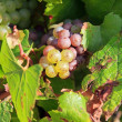 Grape, vineyard of the hillsides of Chablis (Burgundy France) — Stock Photo