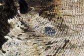 Calcined tree trunk, cross section — Foto de Stock