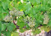 Grape, vineyard of the hillsides of Chablis Burgundy France — Stock Photo