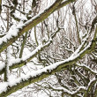 Branches of trees covered with snow, forest in winter — Stock Photo