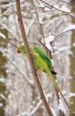 Collared parakeet in winter (France Europe) — Stock Photo
