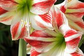 Amaryllis's pistil, in the heart of the flower — Stock Photo