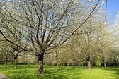 Garden of white Japanese cherry trees, the spring in flower (France) — Stock Photo