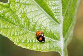 Asian ladybirds, coupling in period of reproduction — Stock Photo