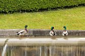 Three ducks wading in a pond, the bath of legs of ducks — Stock Photo