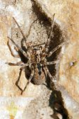 Spider passing on a stone, an animal often inspiring a phobia of fear — Stock Photo