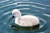 Baby swan making wavelets in the water — Stock Photo