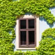 Old window framed by the vine, Bamberg — Stock Photo