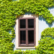 Old window framed by vine, Bamberg — Stock Photo #28936583