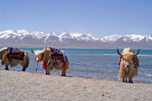 Yaks in Tibet — Stock Photo