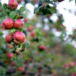 Royalty-Free Stock Photo: Wild apples
