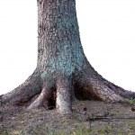 Постер, плакат: Rooted tree