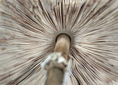 Parasol mushroom — Stock Photo