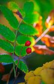 Two red rowan berries — Stock Photo