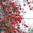 Red apples in winter - Stock Photo