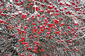 Red apples in winter — Stock Photo