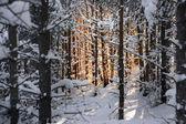 árboles de pino en invierno — Foto de Stock