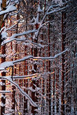 Winter pine forest at sunset — Stock Photo