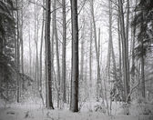 Forest with conifers in winter — Stock Photo