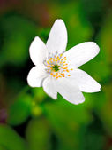 Windflower — Stock Photo