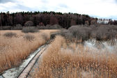 Swamp area with reeds — Stock Photo