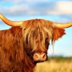 Scottish highland cow — Stock Photo #18350481