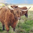 Grazing scottish highland cow — Stock Photo #18352107