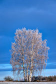 Birch trees with rime fros — Stock Photo