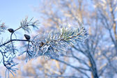 Pine needles with rime frost — Stock Photo