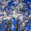 Stock Photo: Branch with rime frost