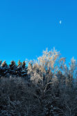 Bare birch tree with rime frost — Stock Photo
