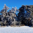 Stock Photo: Trees with rime frost