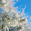 Pine needles with snow crystals — Stock Photo