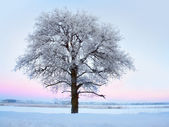 Tree with rime frost in winter landscape — Stock Photo